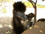 little emu