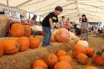 tanaka farm pumpkin