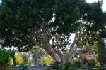 balboa park big tree