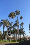 balboa park palm tree