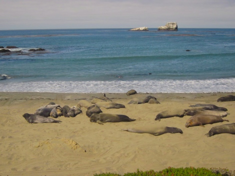 big sur seals