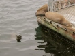 Baby sea lion swimming
