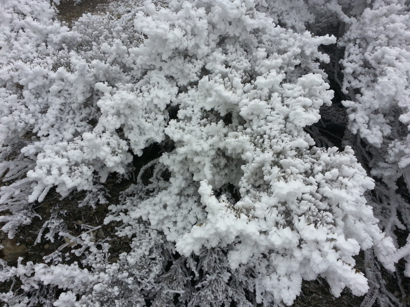 icy plant on mt. baldy